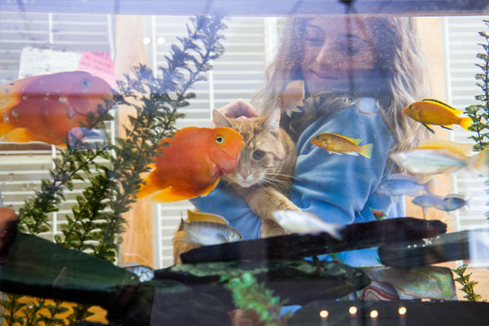 Orange cat watching the fish tank