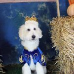 white fluffy dog in cheerleading costume