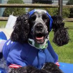 dog dressed up as super woman