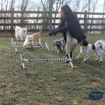 dogs on an obstacle course