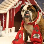 dog dressed up for Christmas