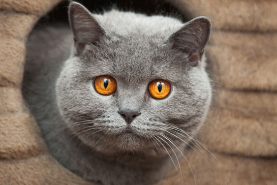 Grey cat looking out of a hole