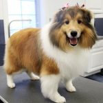 Miniture collie with bows in it's hair