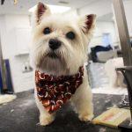 Little white dog wearing a bandana