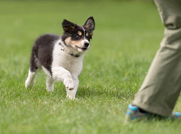 Cute puppy following a trainer