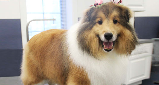 Beautifull collie after grooming